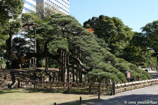 300 v vanha puu