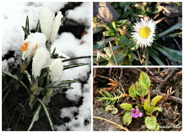 Kevään ensimmäiset kukat
