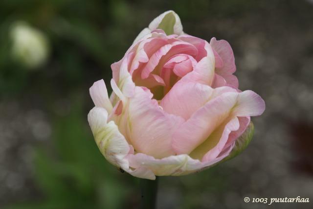 Angelique-tulppaani
