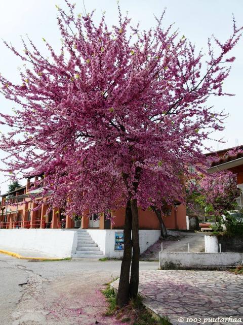 saarikierros-kukkivat puut