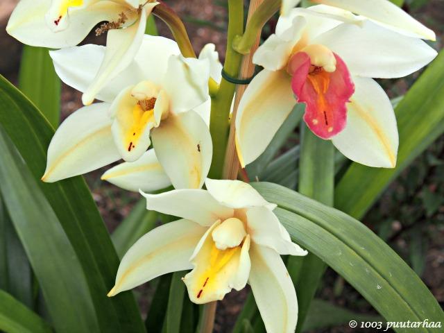 orkideat Achilleionissa