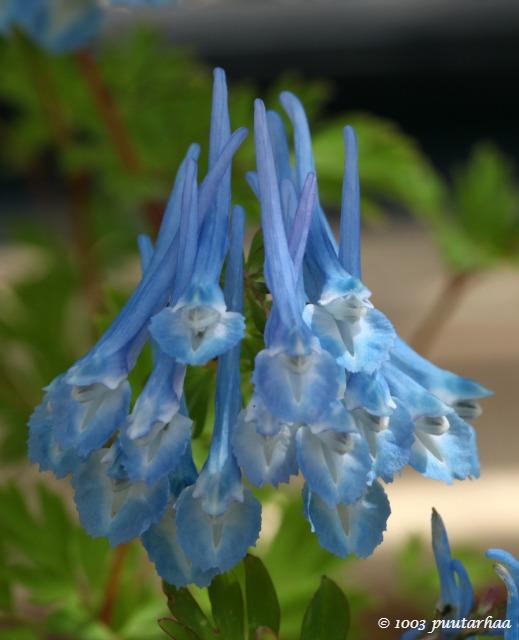 sininenkukka