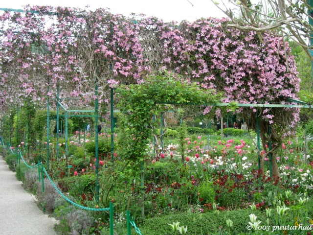 Claude Monetin puutarhan värilaatikkopenkeissä kasvavat vuorikärhöt