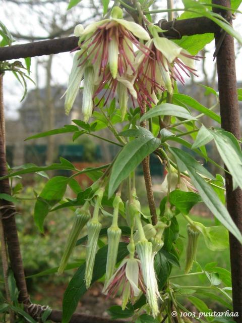 Clematis napaulensis kukkii tammikuussa 2015 Jardin des Plantesissa