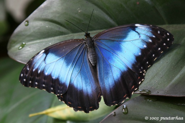 Siniset perhoset olivat tietenkin suosikkiperhosiani