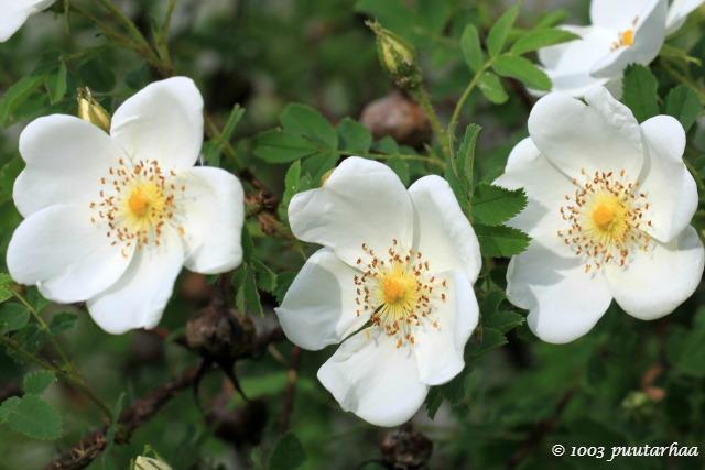 3.6.2016 Maijan vanha ruusu, joka aloitti kukintansa kesämökillä